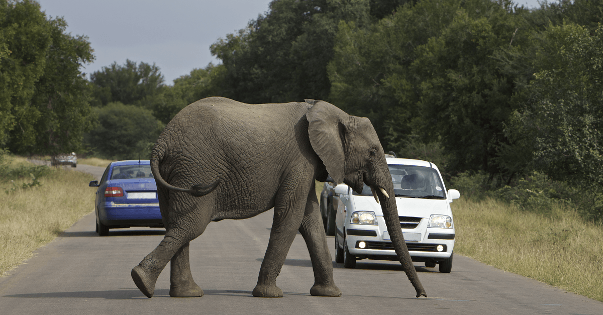 Elephant Crossing in Kruger National Park
